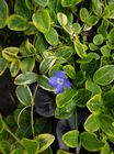 Vinca minor Blue and Gold 1L Pot